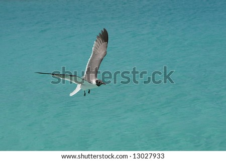 Seagull soars over water in Turks and Caicos - stock photo