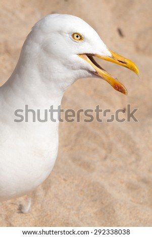 Seagull squawking on the beach close up. - stock photo