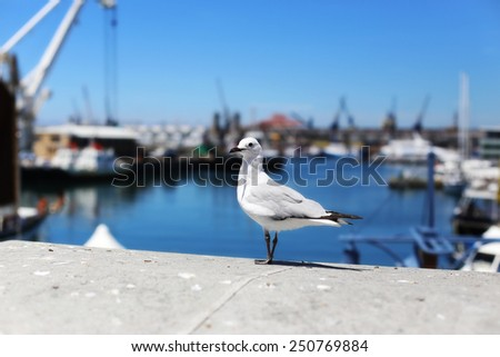 Seagull standing on the concrete wall in the harbour, Cape Town - South Africa.  - stock photo