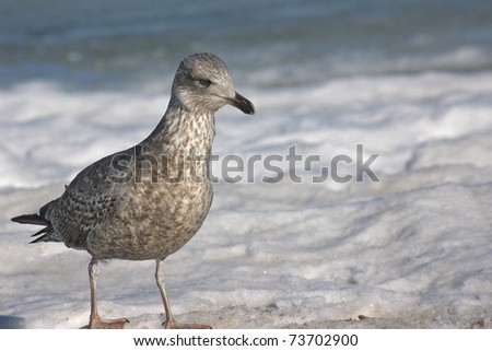 Seagull walking on a frozen beach on Ruegen Island, Germany