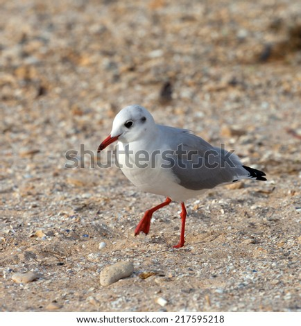 Seagull walking on sand. Close-up view. - stock photo
