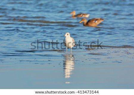 Seagull walking on the lake, reflected in water. Background two mallard (wild duck). - stock photo