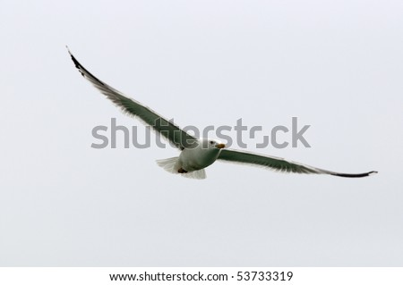 seagull with wide-spread wings, looking for a fish to catch