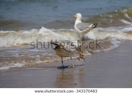 Seagulls catching a crab in a water of North sea in Zandvoort, the Netherlands