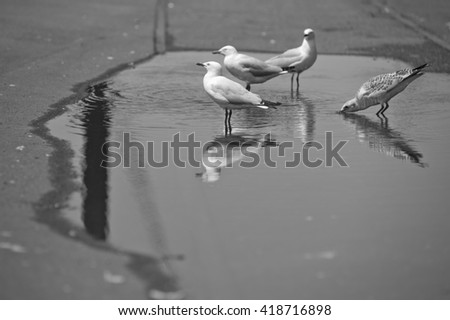 Seagulls drinking from a puddle - black and white version - stock photo