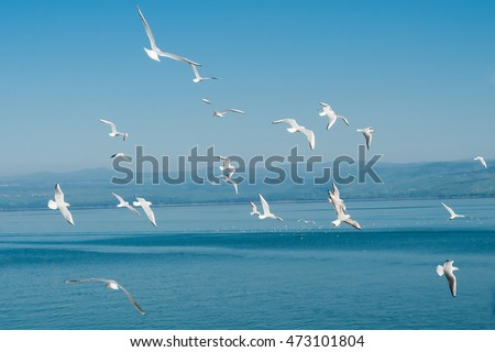 Seagulls flying by the Kinneret lake near Tiberias in Israel.