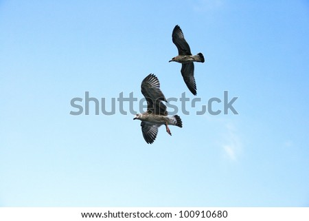 Seagulls flying in blue sky.