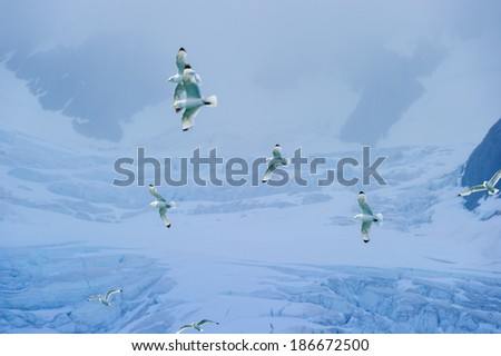 Seagulls flying in front of a glacier in the Arctic Ocean, Hornsund, Norway