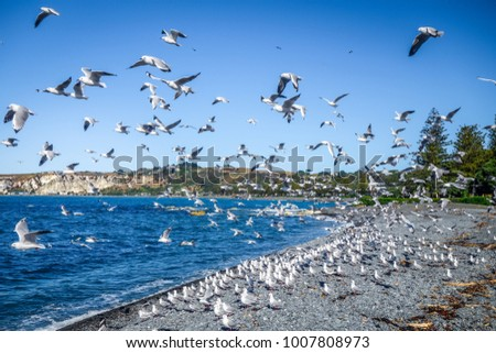 Seagulls flying on Kaikoura beach, New Zealand