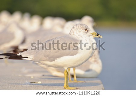 Seagulls in row at the dock - stock photo