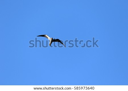 Seagulls on a background of blue sky and water. Close up, the overall plan. (Chroicocephalus ridibundus)