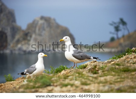 SeagullS on the Olkhon Island, Baikal Lake, Russian Federation
