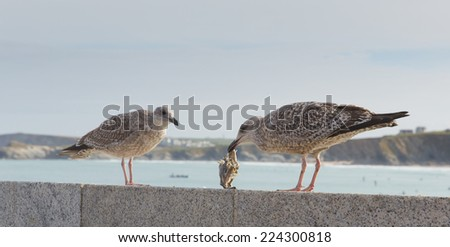 Seagulls on the wall at Newquay harbour North Cornwall England UK - stock photo