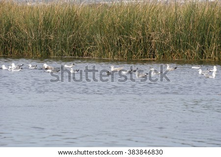 Seagulls resting on the ponds around Alviso, California