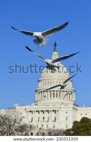 Seagulls with US Capitol background - Washington DC, USA - stock photo