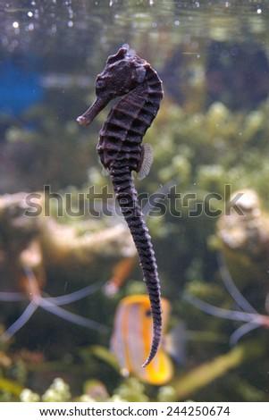 Seahorse (Hippocampus) in an aquarium.  - stock photo