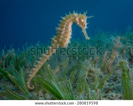 Seahorse Swimming over sea grass - stock photo