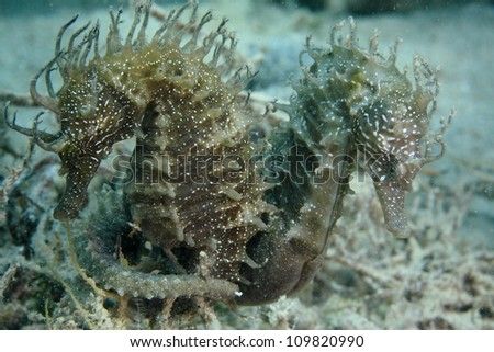 Seahorses in the wild - stock photo