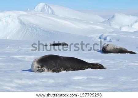 Seal and Antarctic. - stock photo