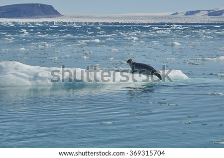 Seal at the Glacier, Northern Greenland
