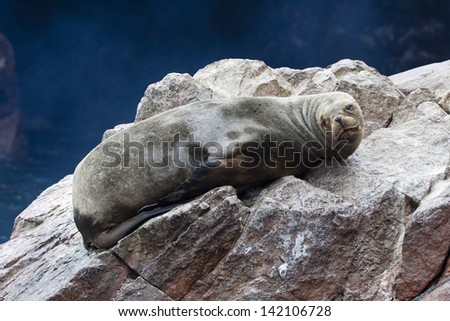 seal, Ballestas Islands, Peru