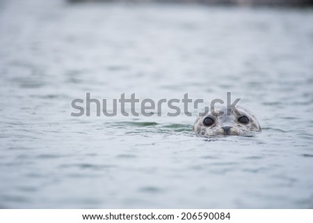 Seal bobbing out of the water - stock photo