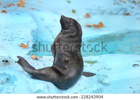 Seal Fur Animals Enjoying - stock photo