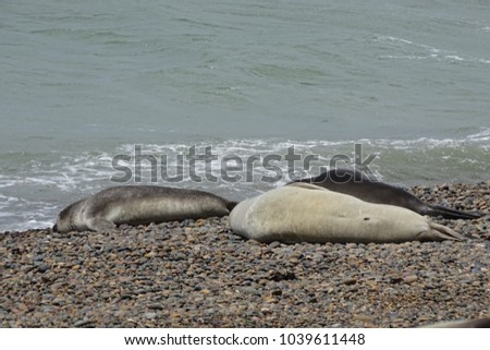 seal group sunbathing in the sand near the sea in Punta Ninfa, Patagonia, Argentina