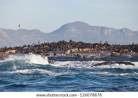Seal Island sits in the middle of False Bay near Cape Town in South Africa.  The island is home to a plethora of Cape Fur seals and their predators, Great White sharks. - stock photo