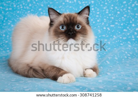 Seal Mitted Ragdoll kitten lying down on blue background  - stock photo