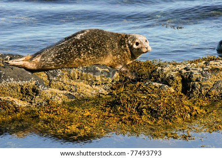 Seal on the rock, Iceland - stock photo