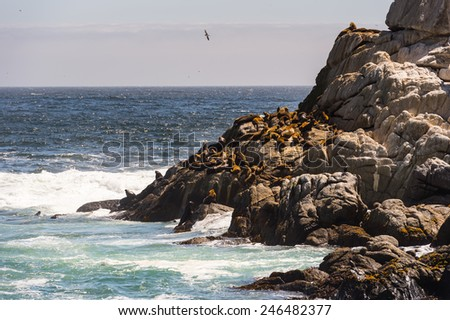 Seal on the Rocks near the Coast of Chile of the Pacific Ocean