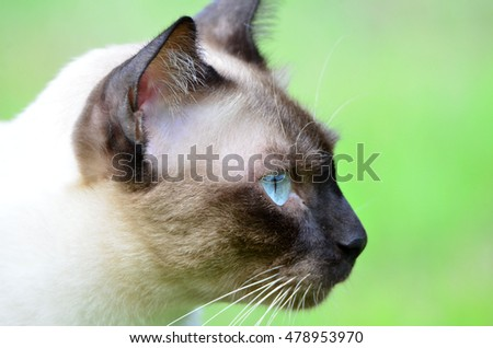 Seal Point cat