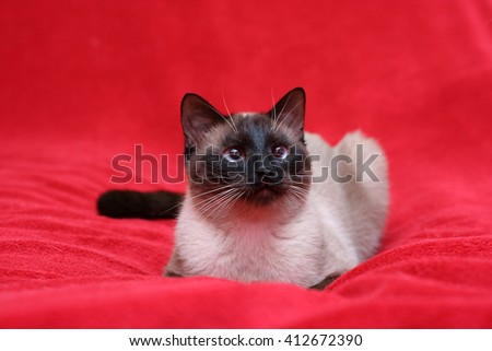 Seal point siamese (aka apple head siamese) - stock photo