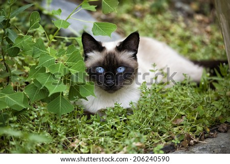Seal point siamese cat lying down outdoors in the yard - stock photo