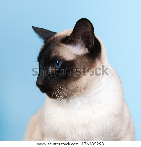 Seal point Siamese cat with blue eyes - stock photo