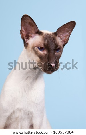 Seal point Siamese cat with blue eyes on blue background - stock photo