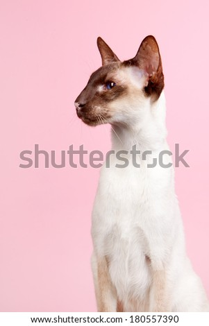 Seal point Siamese cat with blue eyes on pink background - stock photo
