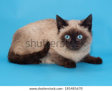 Seal point Siamese kitten with blue eyes on blue background - stock photo