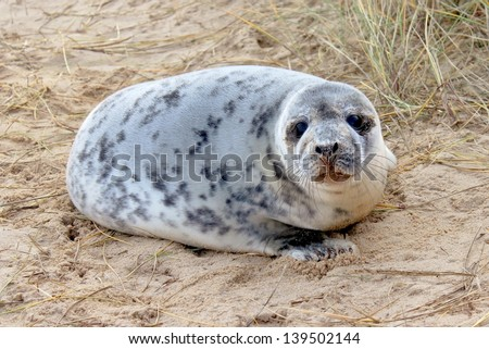 Seal Pup  - stock photo