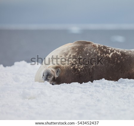 seal relax on the snow. life of animal in wildlife.