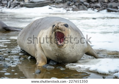 Seal screams in South Georgia