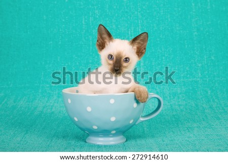 Seal Siamese kitten sitting inside blue polka dot cup on blue background  - stock photo