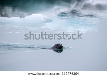 seal swimming in the cold water of the Jokulsarlon Glacier Lagoon, Iceland - stock photo