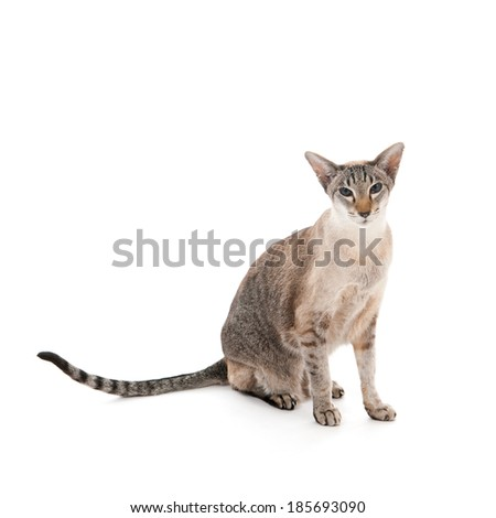 Seal tabby Siamese cat sitting in studio isolated over white background