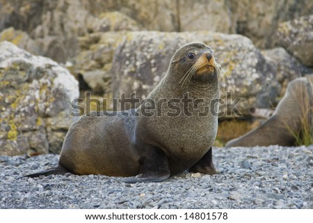 Seal with a concerned look on its face - stock photo