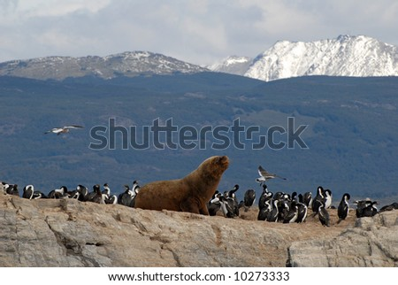 Sealion and sea birds. Island in the Beagle Channel, Tierra Del Fuego, Argentina. - stock photo