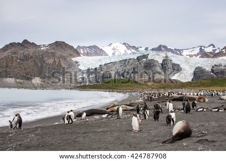 Seals and Penguins in antarctic island of South Georgia - stock photo
