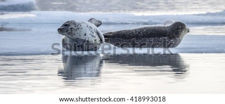 Seals around a glacier lagoon Iceland, Northern Europe in winter with snow and ice