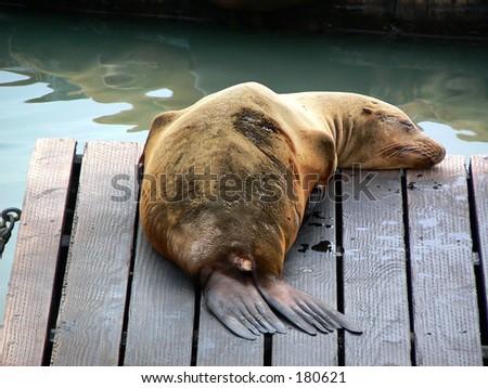 Seals at Fisherman's Wharf in San Francisco - stock photo